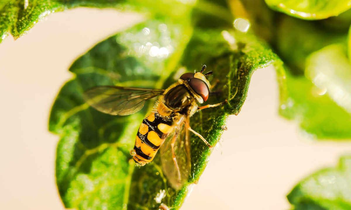 tiger hoverfly