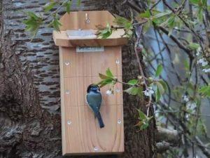 Blue tit in nest box
