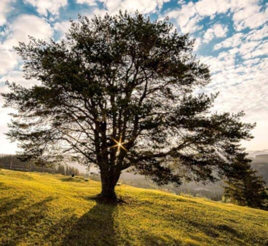 meadow tree